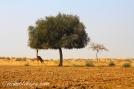 Shearing the Tree