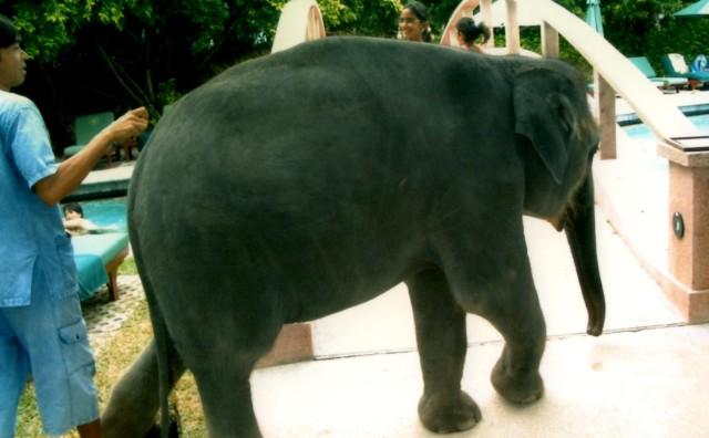 The hotel elephant in Phuket