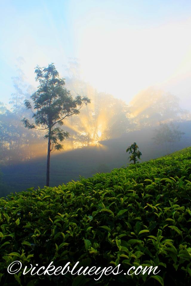 Sunrise over A Tea Plantation