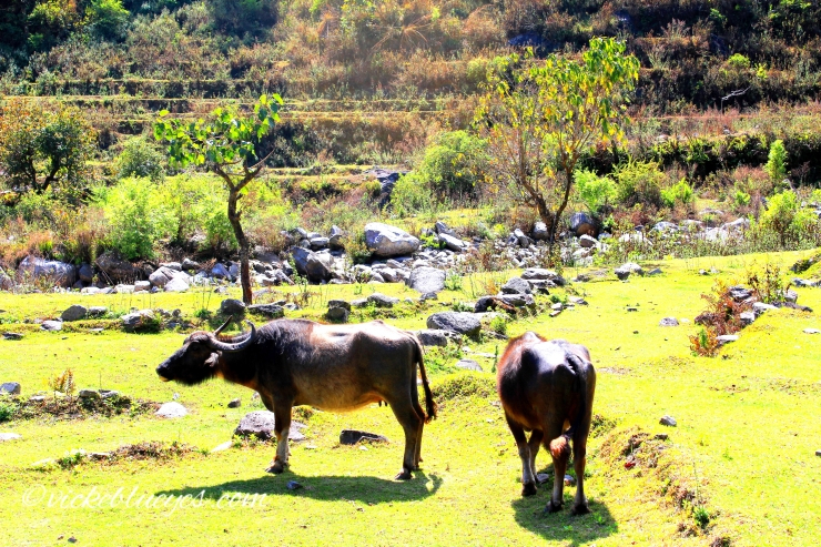 Buffaloes grazing