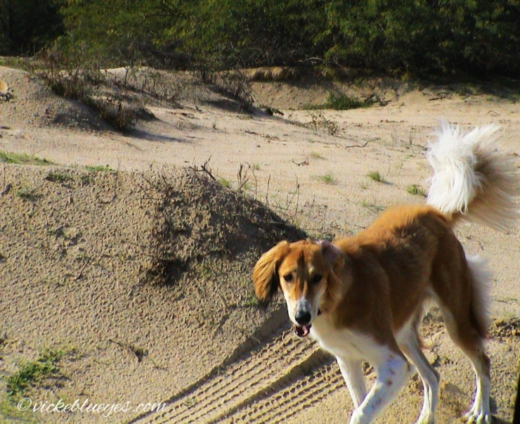 Our dog Chole in the desert